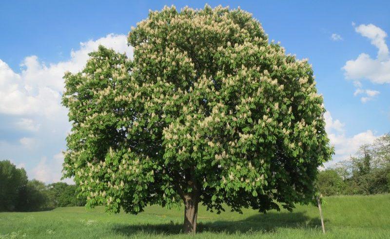 El castaño: La mejor madera para la carpintería